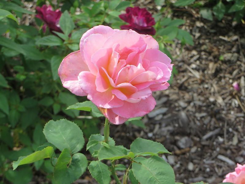 Roses in August c