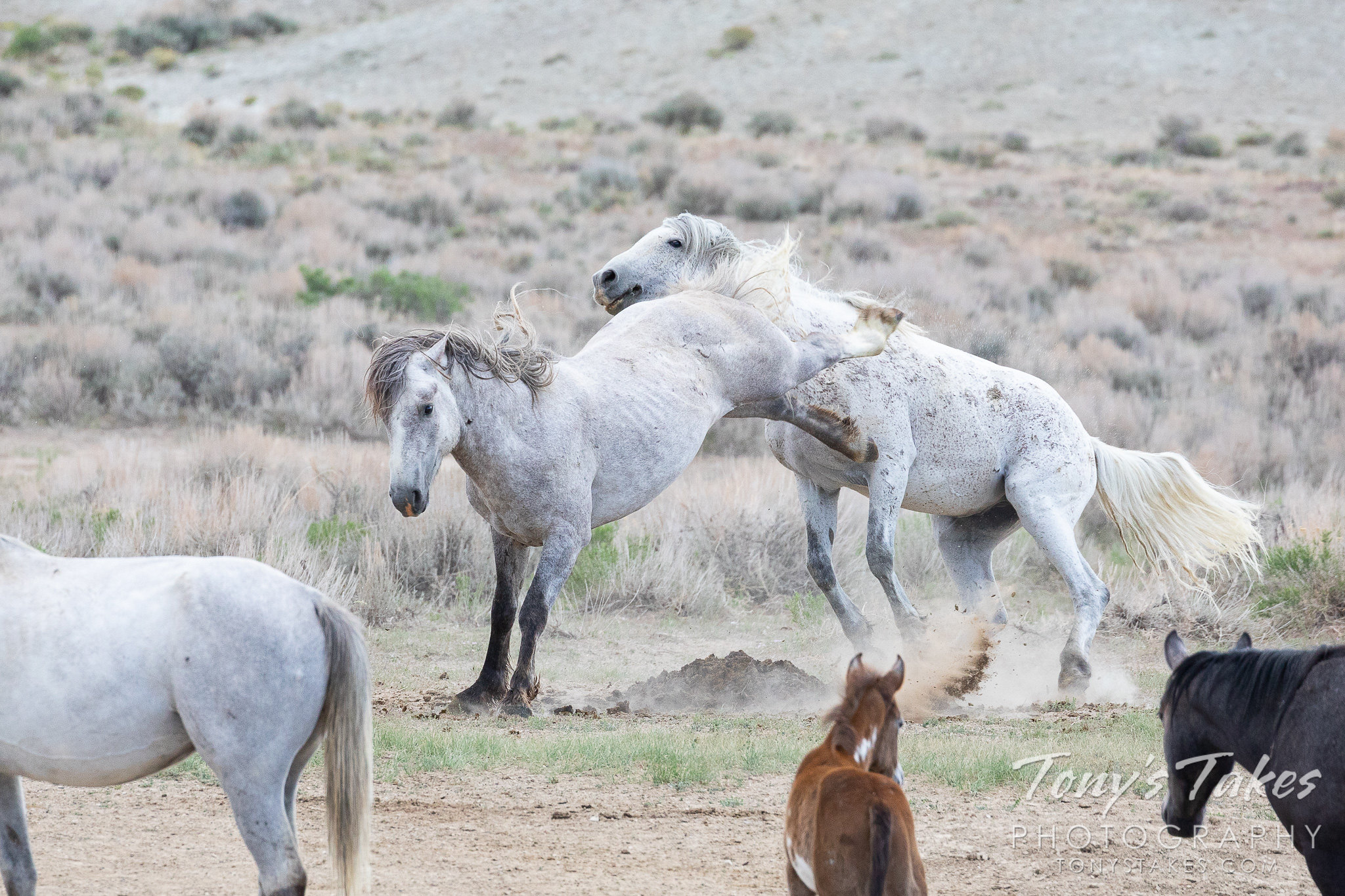 A stallion delivers a powerful blow to an opponent. (© Tony's Takes)
