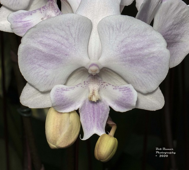 Orchid Purple & White 5