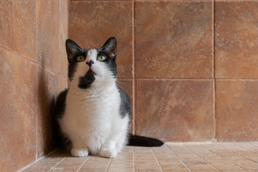 Our cat Boo sits in the corner of the shower entrance, his eyes wide open and looking above me, in June 2020