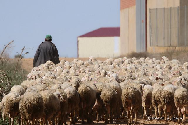 San Agustín del Pozo, moutons et berger | sheep and shepherd