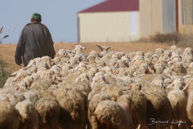 San Agustín del Pozo, moutons et berger   sheep and shepherd