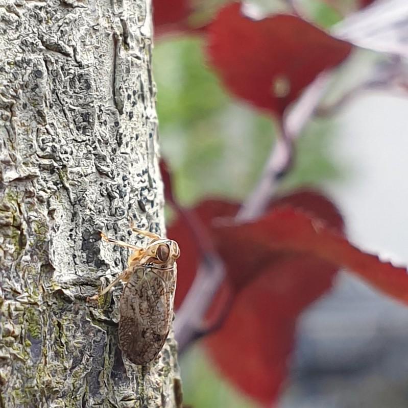 Cicade - planthopper
