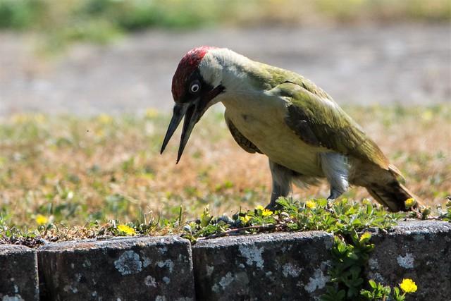 Green Woodpecker Picus viridis - Prospecting