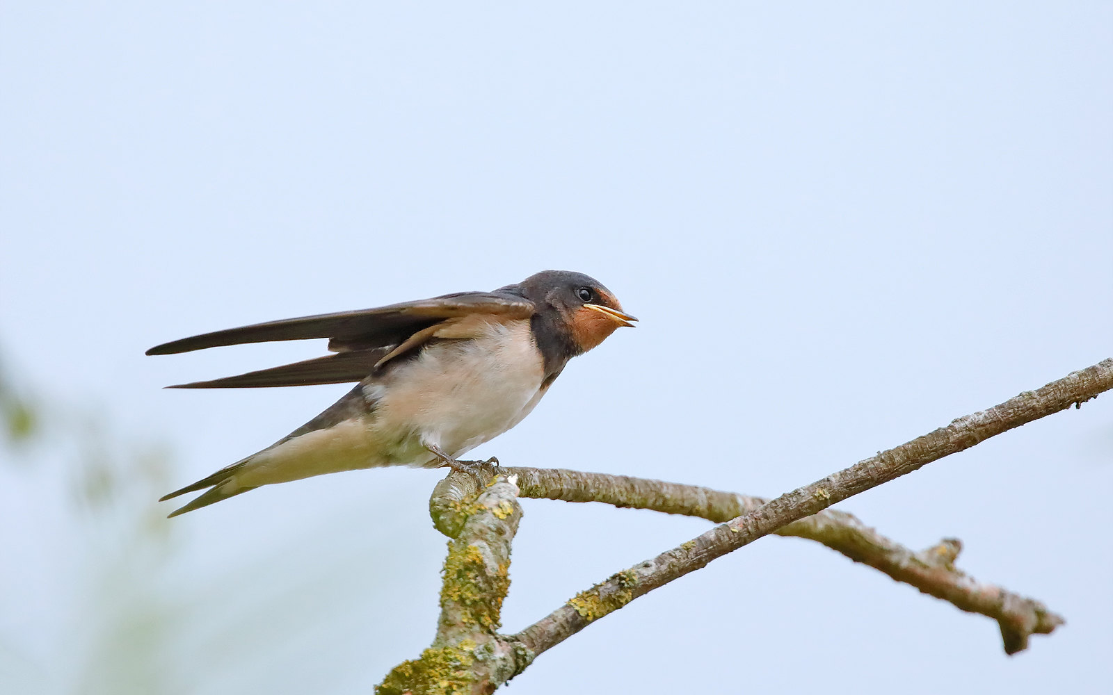 Swallow - Juvenile
