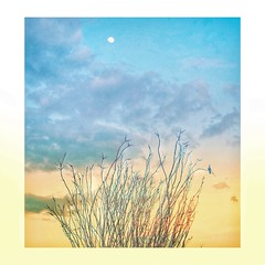 Pastel Ocotillo Sunset