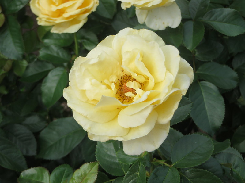 Roses in August t