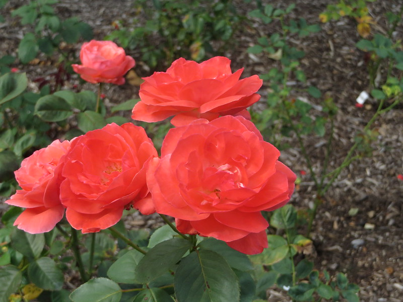 Roses in August l