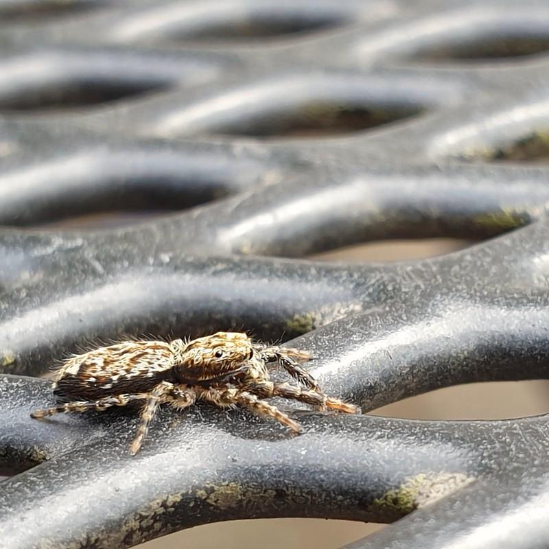 Springspin - jumping spider
