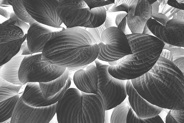 Hosta in inverted black and white