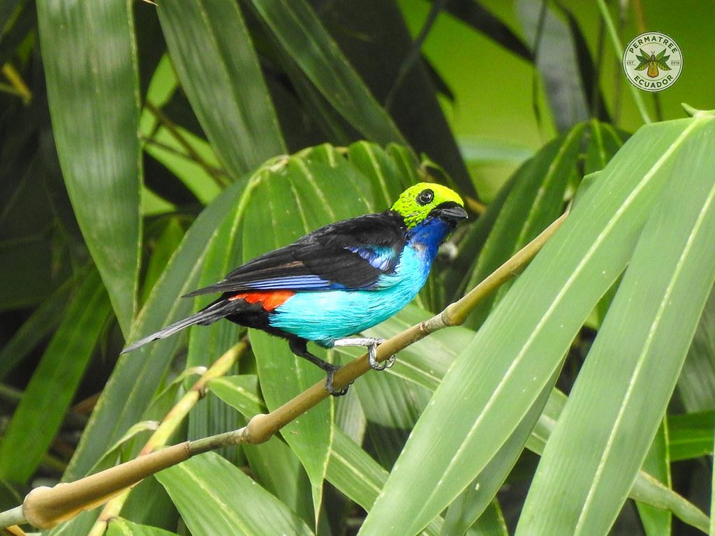 Fauna: Paradise Tanager (Tangara chilensis)
