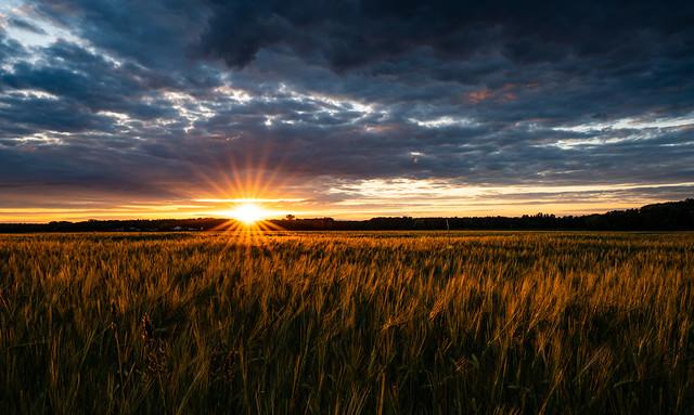 Sun star in the cornfield