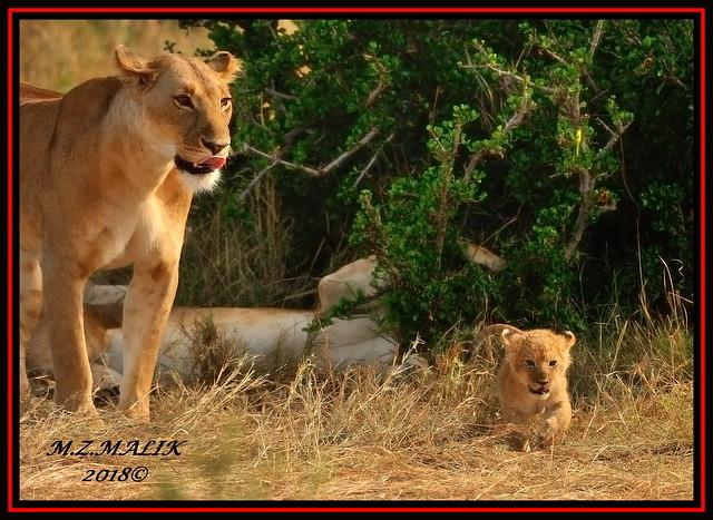 YOUNG FEMALE LIONESS (Panthera leo) WITH A TINY CUB......MASAI MARA......SEPT 2018.