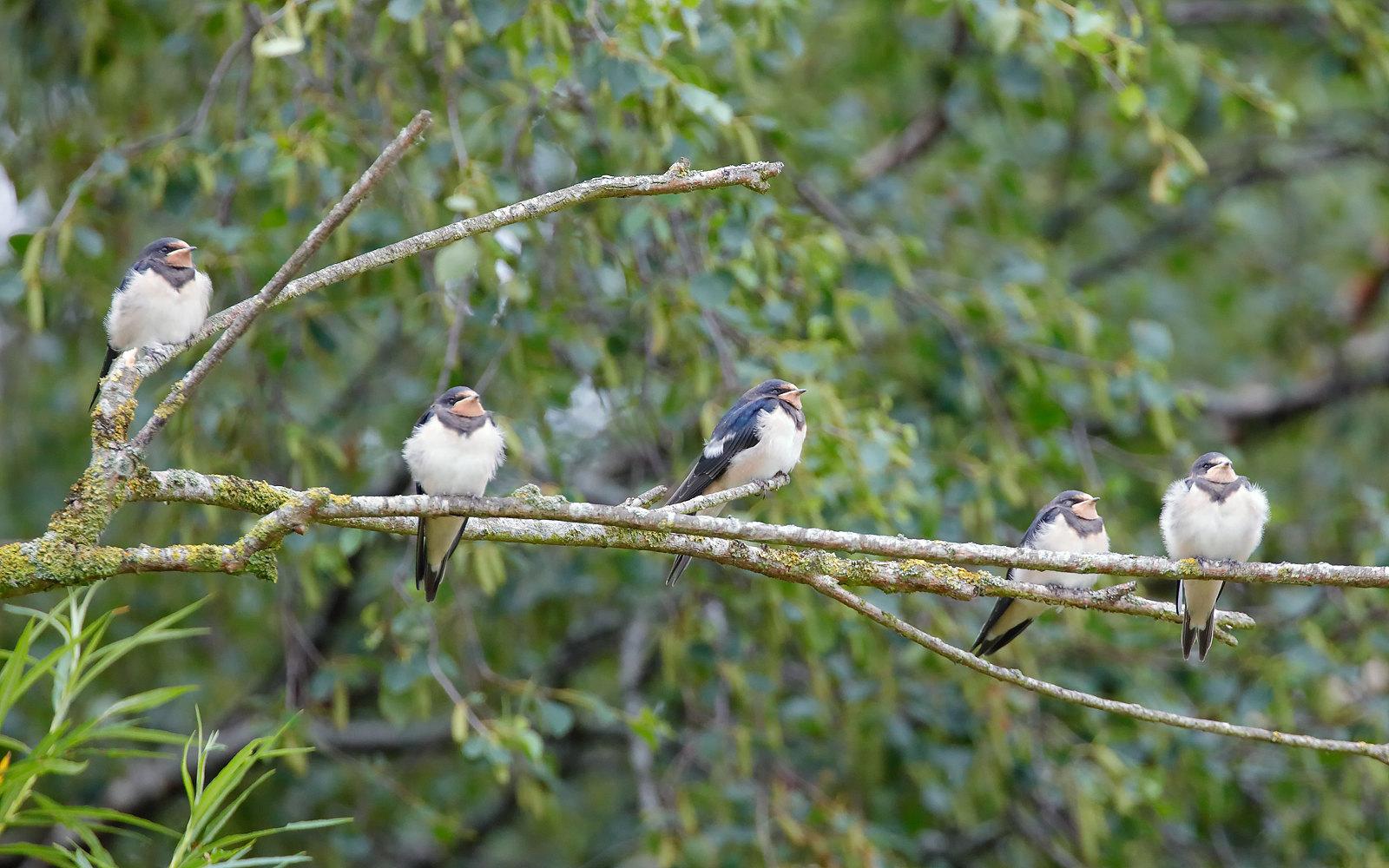Swallow - Juveniles