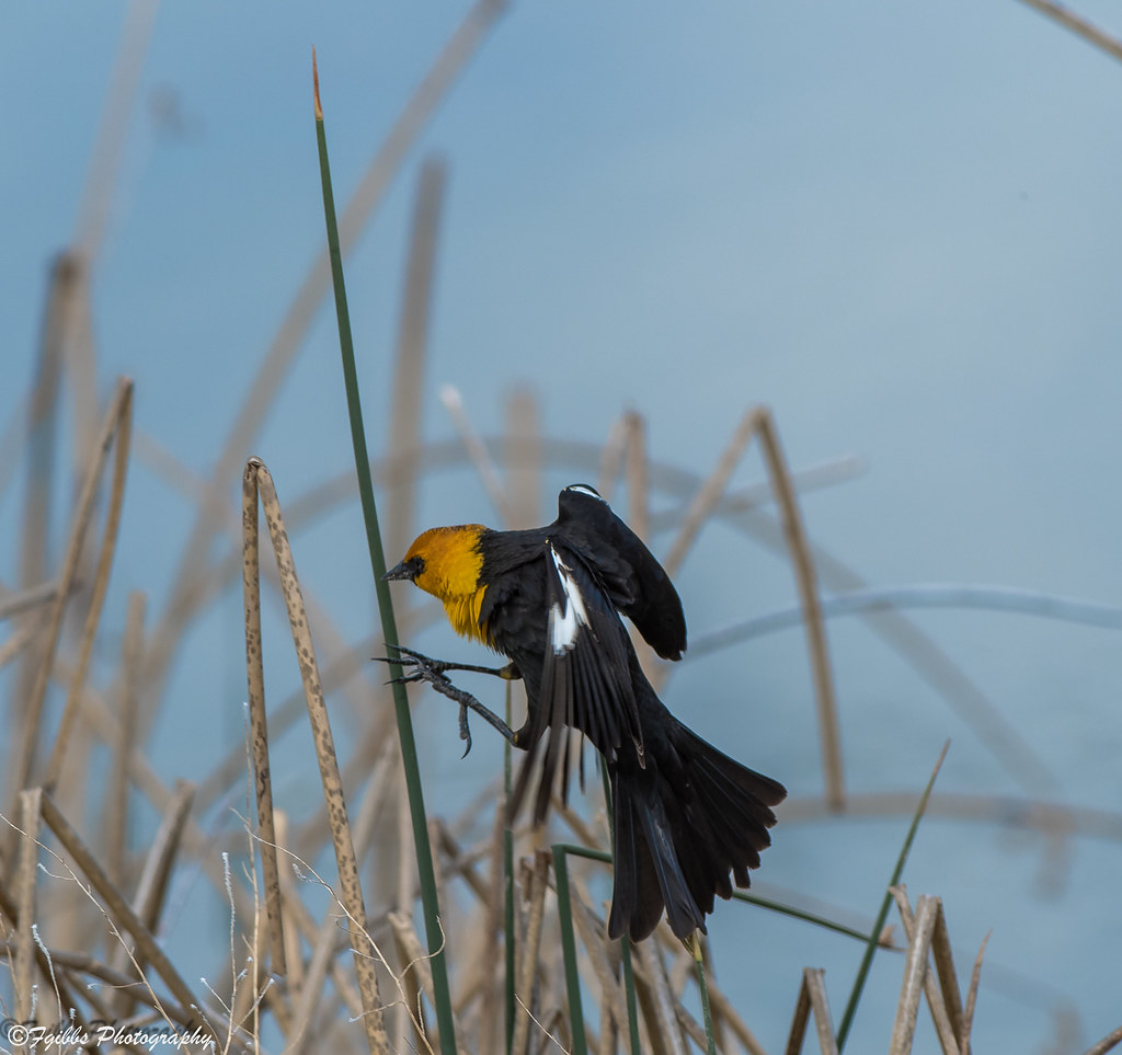 Yellow-headed Black Bird