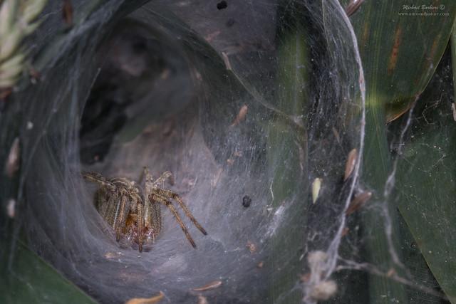 Agelenidae ssp.