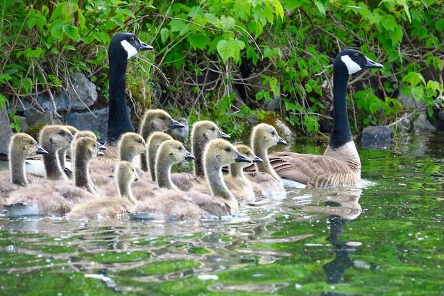 Maturing Goslings