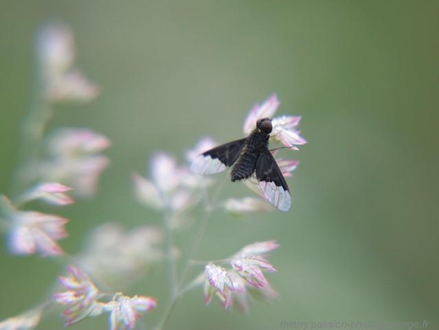 Bombyliidae-Hemipenthes morio se sèche de la rosée au soleil avant son envole