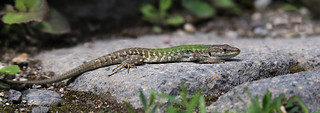 Like many tourist the Italian ruin lizard can be found  at Pompeii too | by B℮n
