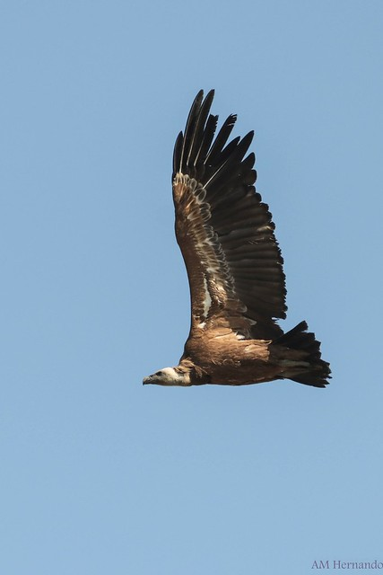Buitre leonado-Gyps fulvus-Griffon vulture