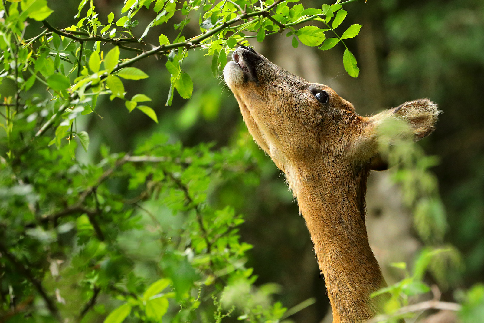 Roe deer reaching to eat leaves from a branch