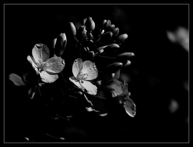 Kwiaty rzepaku.