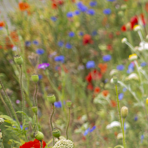 wild flowers belfield impression imoressionist colours ucd red blue green cornflowers poppies