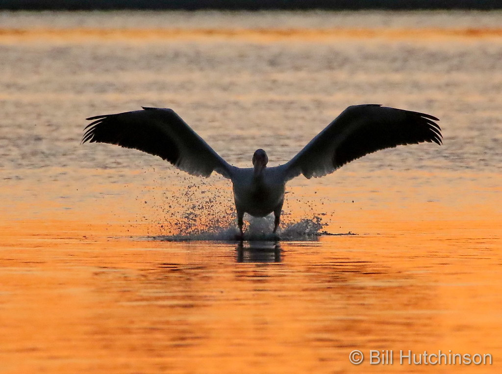 A pelican takes off at Barr Lake State Park at sunrise. (Bill Hutchinson)