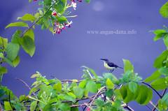 Purple Sun Bird (Female)