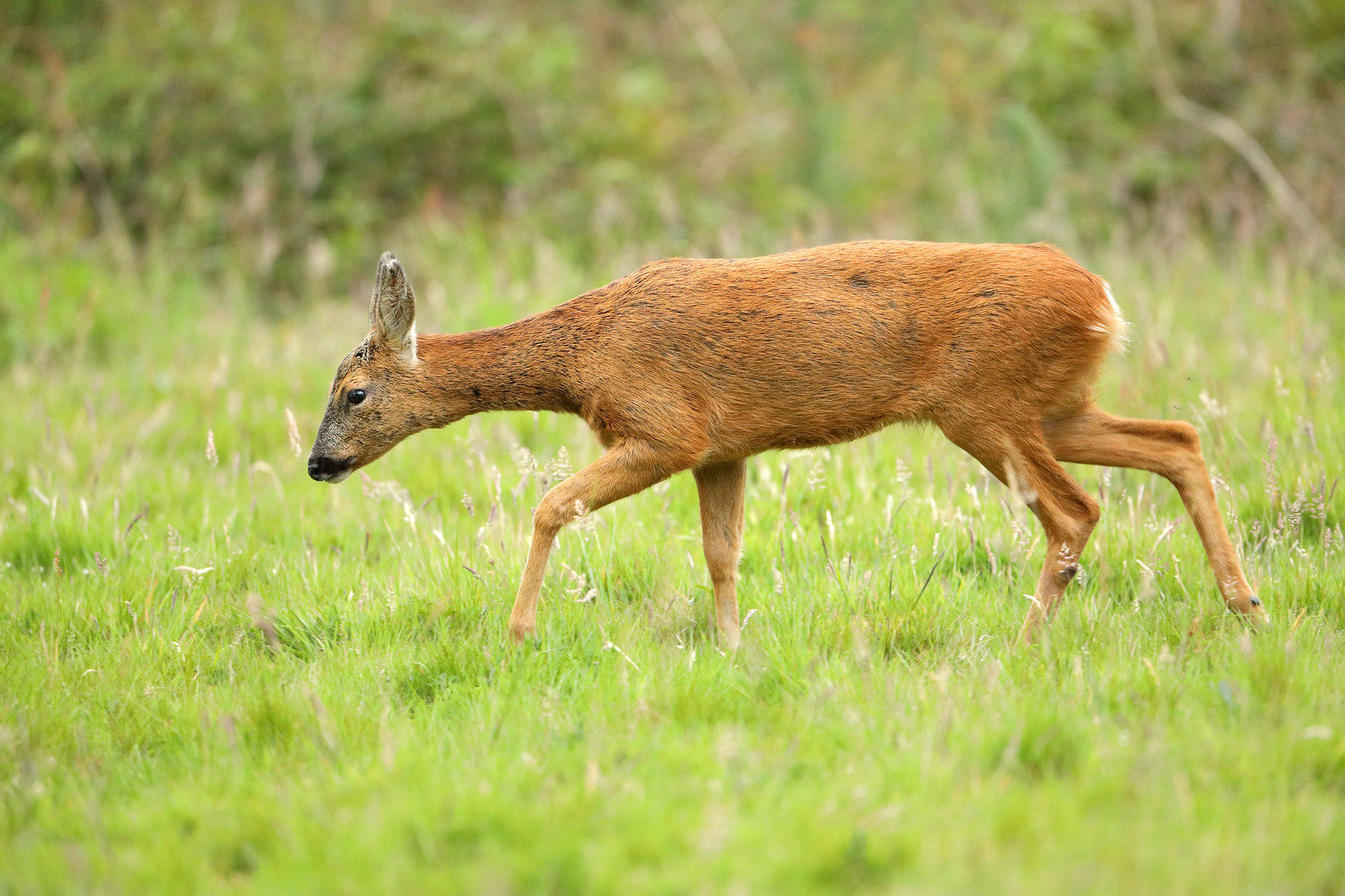 Roe deer walking through meadow