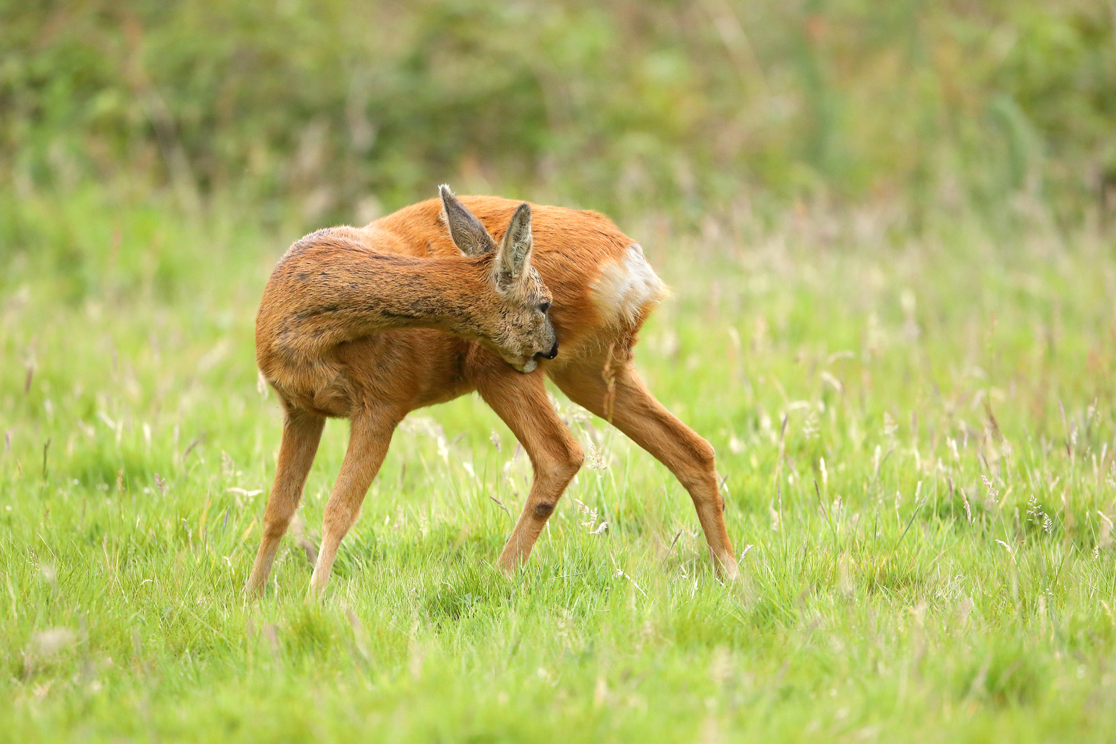 Roe deer grooming herself