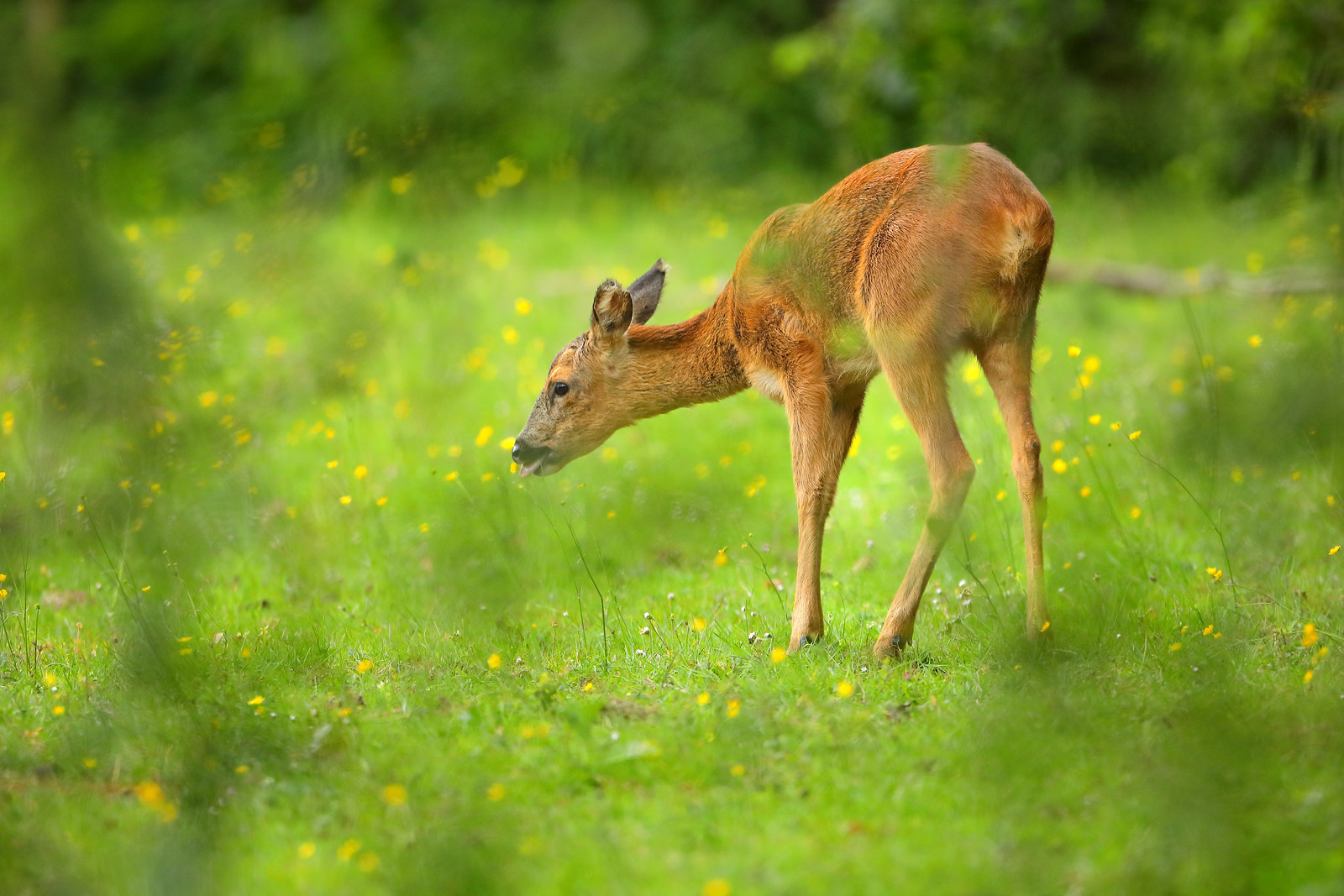 Roe deer eating buttercups