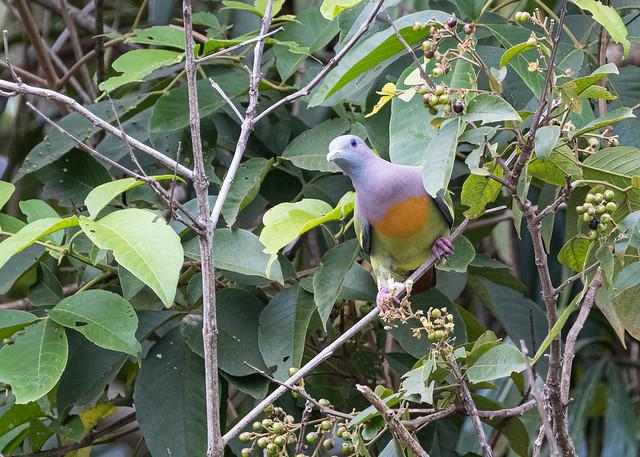 Male Pink-necked Green Pigeon (Treron vernans) 1318