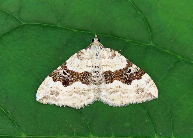 70.054 Silver-ground Carpet - Xanthorhoe montanata