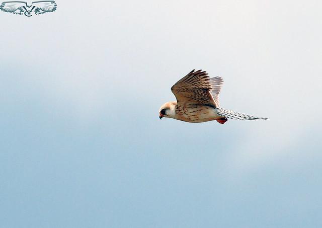 Cernicalo patirrojo Hembra (Falco vespertinus)