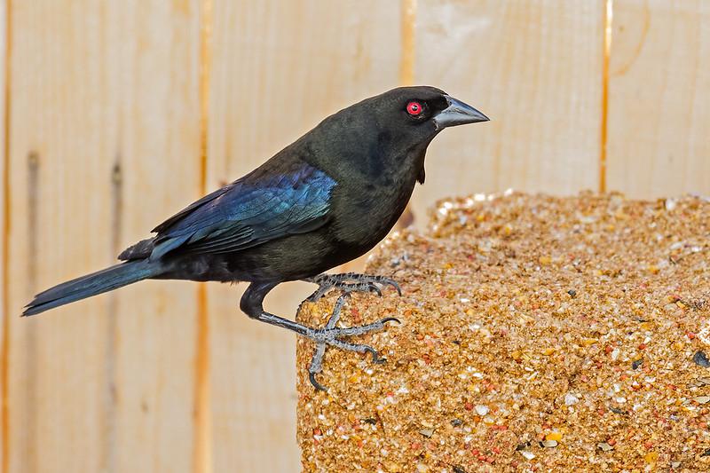Bronzed-Cowbird-26-7D2-060820