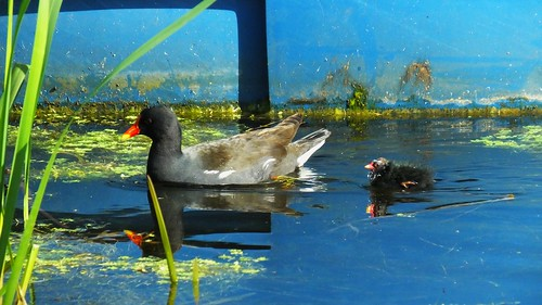 Moorhen and Chick 03