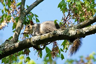 Squirrel in Maple Tree