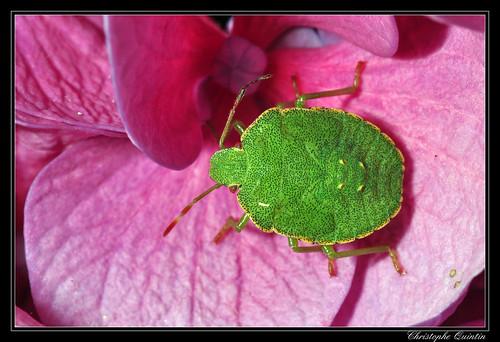 Larve de punaise verte (Palomena prasina)