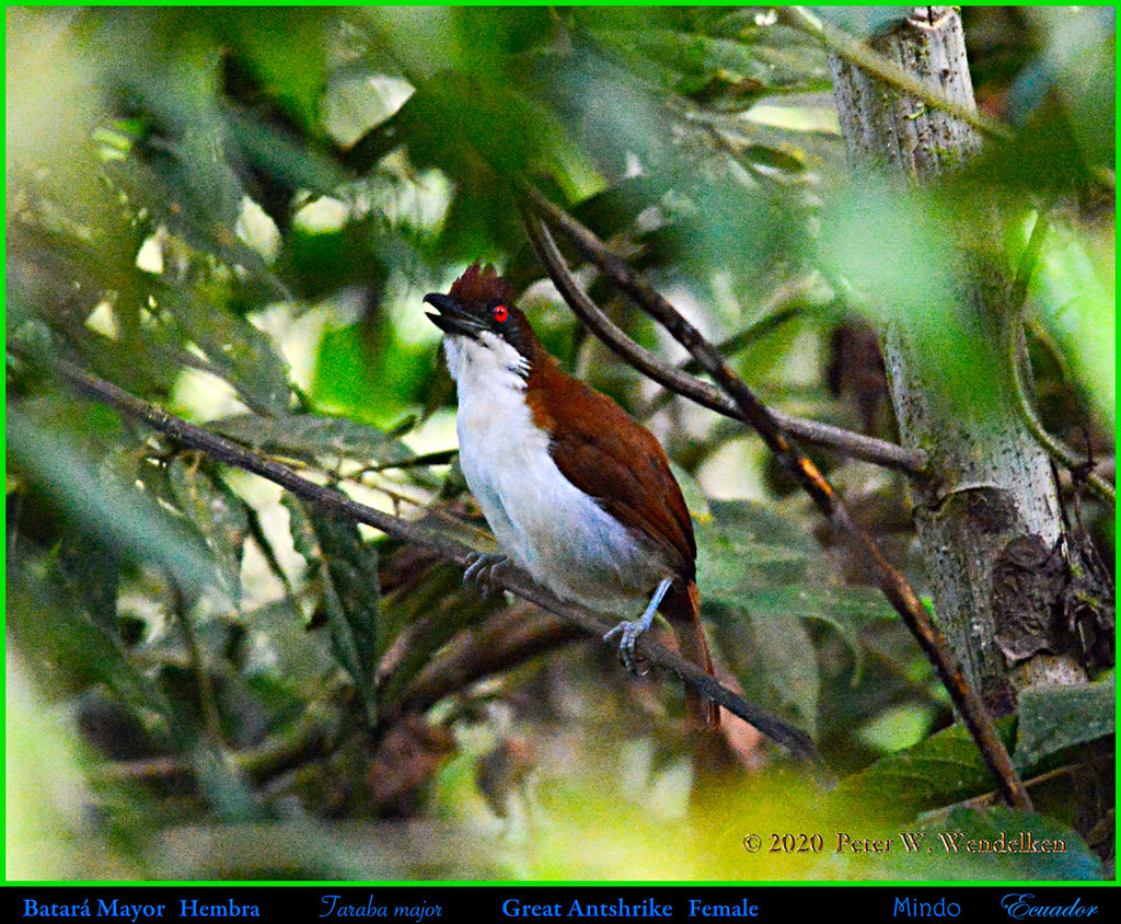 GREAT ANTSHRIKE Singing Female. Taraba major in Mindo, ECUADOR. Photo by Peter Wendelken.