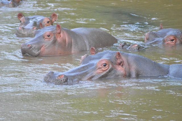 Hippos in Ugandan national parks