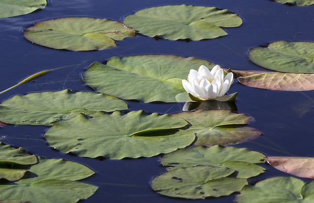 Water lilies, Loughrigg Tarn, Langdale, Lake District National Park, Cumbria, UK