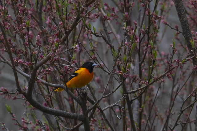Orioles on a Grey Day
