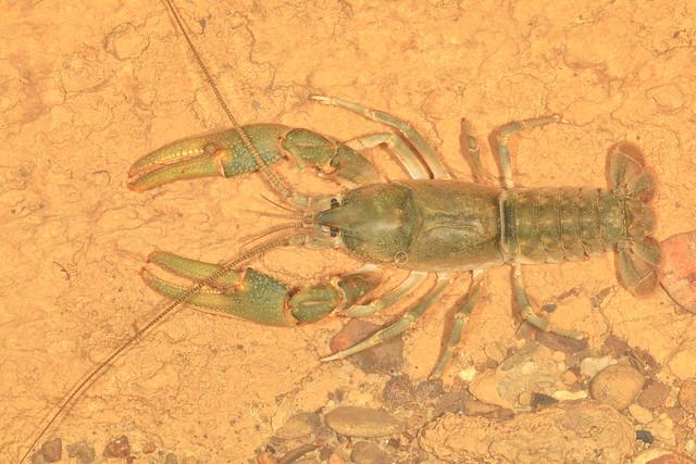 Cambarus tenebrosus, River Cave, Jackson County, Alabama 2