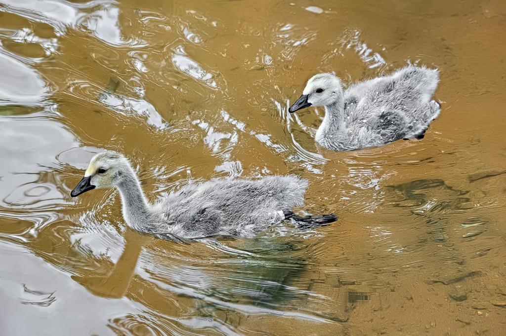 Gooselings
