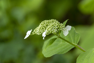 Hydrangea arborescens, Standing Stone State Park, Overton County, Tennessee