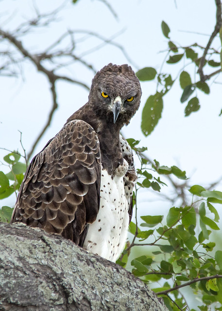 Martial Eagle - explored :-)