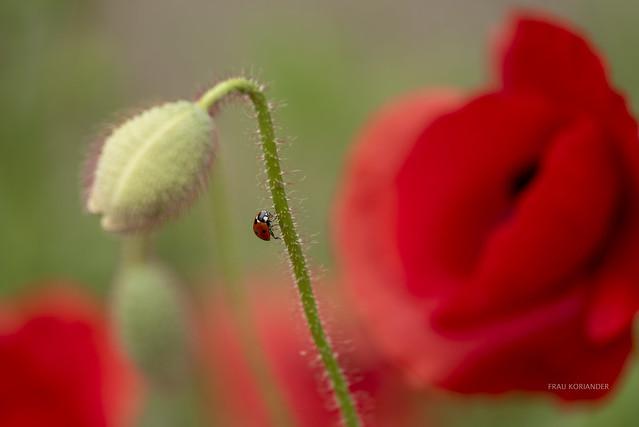 ladybird and poppy