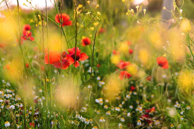 Poppies: #7