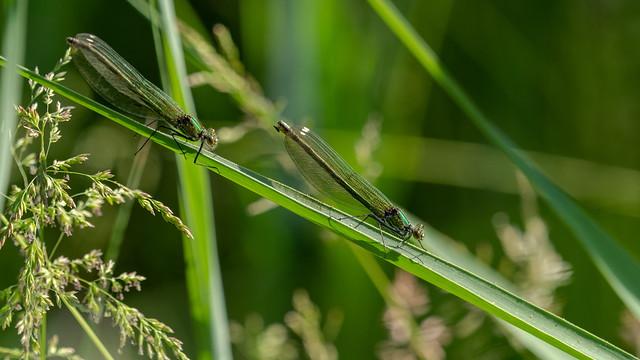 Calopteryx splendens - female